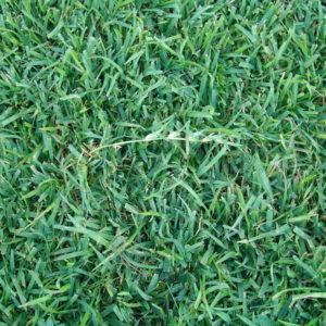 1Centipede_Grass
